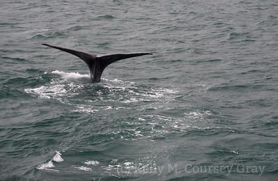 K Sperm Whale fluke 7