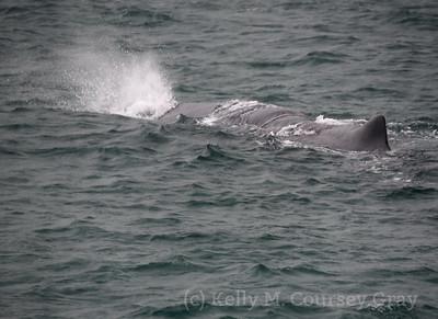 K Sperm Whale spout 3