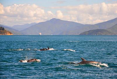 picton common dolphins 11