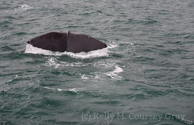 K Sperm Whale fluke 2