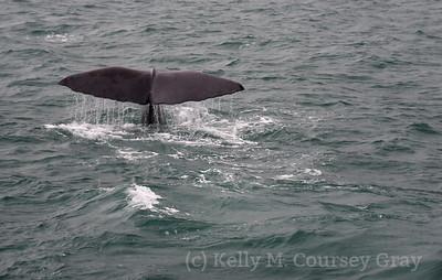 K Sperm whale fluke 4