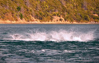 picton common dolphins 17