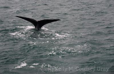 K Sperm Whale fluke 8