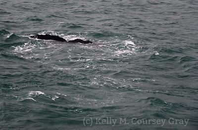 K Sperm Whale fluke 13