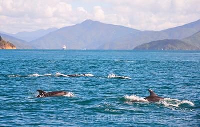picton common dolphins 3
