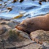 Fur seal soaks up the early morning sun, Moeraki, South Island, New Zealand