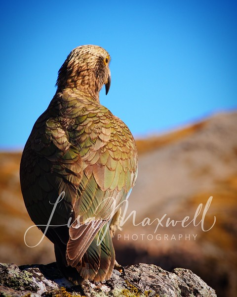 Kea in close, Avalanche Peak Trail, Arthur's Pass National Park, South Island, New Zealand