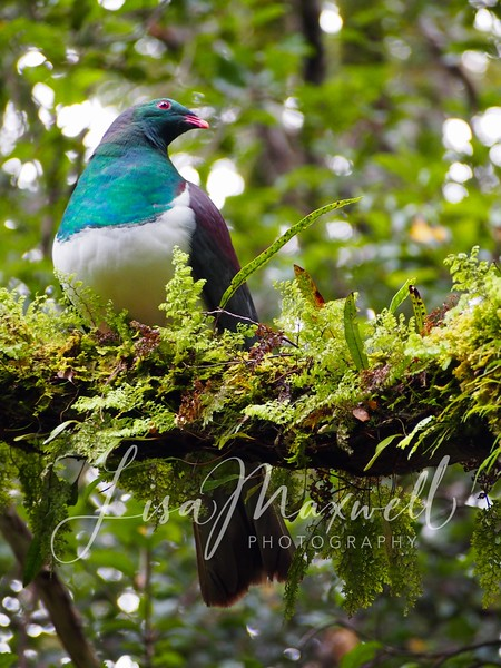 Kereru (New Zealand Pigeon), Haast Pass, South Island, New Zealand