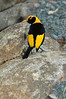 RegentBowerbird (11)