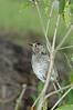 RegentBowerbird (5)