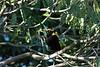 RegentBowerbird (3)