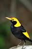 RegentBowerbird (7)