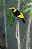 RegentBowerbird (19)