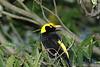 RegentBowerbird (17)