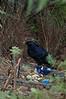 SatinBowerbird (9)