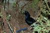 SatinBowerbird (20)