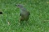 SatinBowerbird (27)