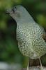 SatinBowerbird (32)