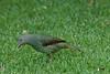 SatinBowerbird (22)