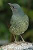 SatinBowerbird (30)