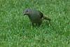 SatinBowerbird (28)