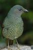 SatinBowerbird (31)