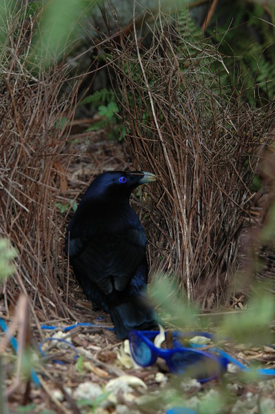SatinBowerbird (7)