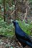 SatinBowerbird (2)