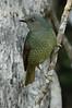 SatinBowerbird