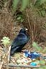 SatinBowerbird (11)
