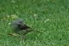 SatinBowerbird (23)