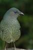SatinBowerbird (33)