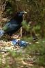 SatinBowerbird (12)