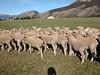 Arthurs_Pass_Sheep_NZ0002