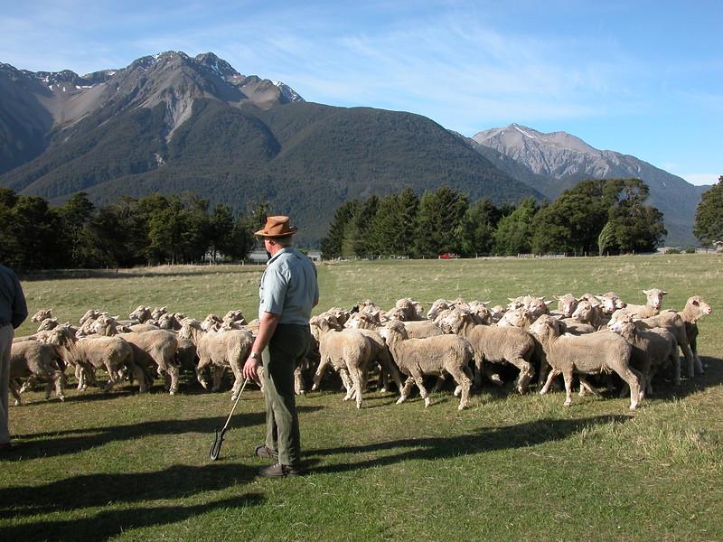 Arthurs_Pass_Sheep_NZ0001