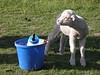 Arthurs_Pass_Sheep_NZ0003