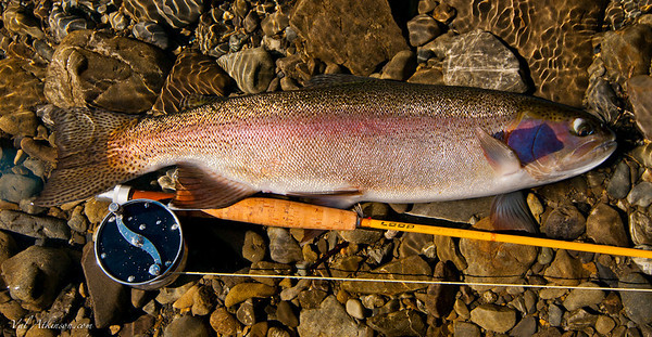6 pound Rangitikei River rainbow.