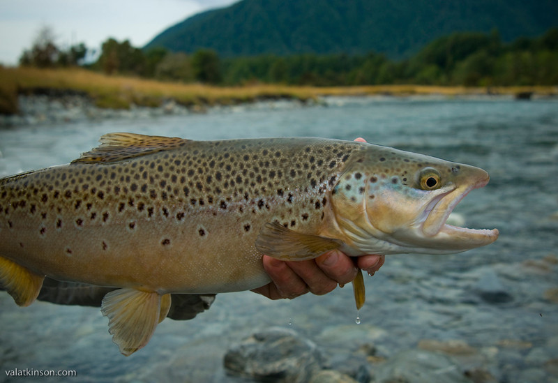 NZ brown #1