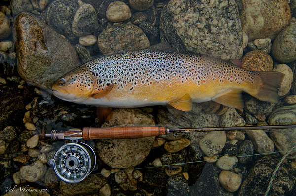 a fat football brown on a wilderness river