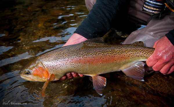 Rainbow trout from the Mohaka River, North Island