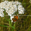 Common copper butterfly.