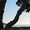 k stems of pohutukawa tree backlit by late sun