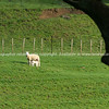 Sheep in field framed by silhouette tree branch