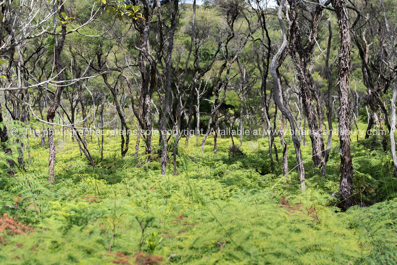 Tangle fern covers forest floor amongst tea tree along Kaitoke Hot Springs Track