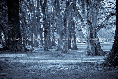 Monochrome tree grove in Auckland's Cornwall Park. New Zealand.