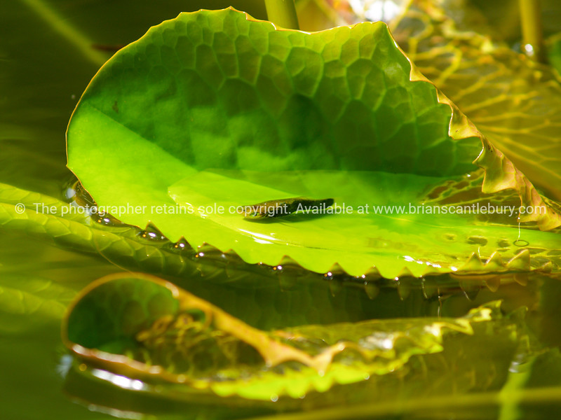 Small fish rests in a water lily leave.