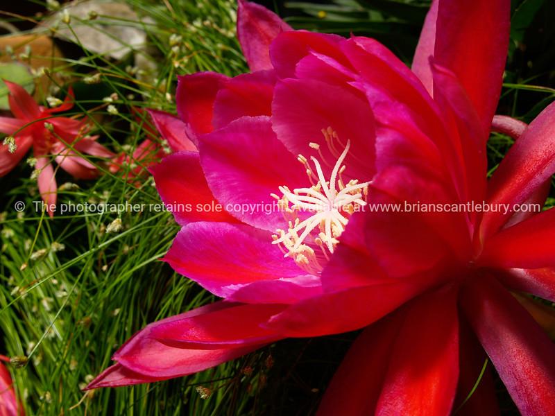 Bright red cactus flower, close-up.
