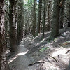 Track through plantation of old pine trees