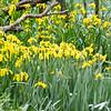 Bright yellow bog iris flowers on banks of Kaiapoi River