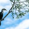 Little shag or cormorant